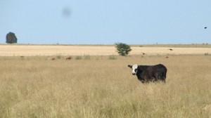 conversé con esta vaca en la ruta hacia Cabo Polonio, Uruguay