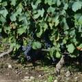 En los viñedos de bodegas Gimenez Griili